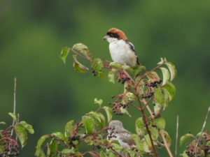 SmartBirds Pro application for data collection on wildlife in Albania 4